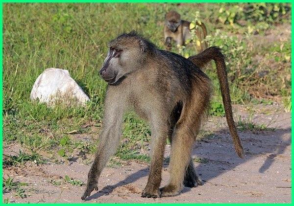 baboon dan anaknya, baboon apa itu, apa itu monyet babon, apakah babon itu, berapa lama babon mabung, kenapa babon memakan telurnya, mana pools baboons, berapa lama babon mabung, kenapa babon memakan telurnya, babon, baboons, babon adalah, a baboon picture, a baboons habitat