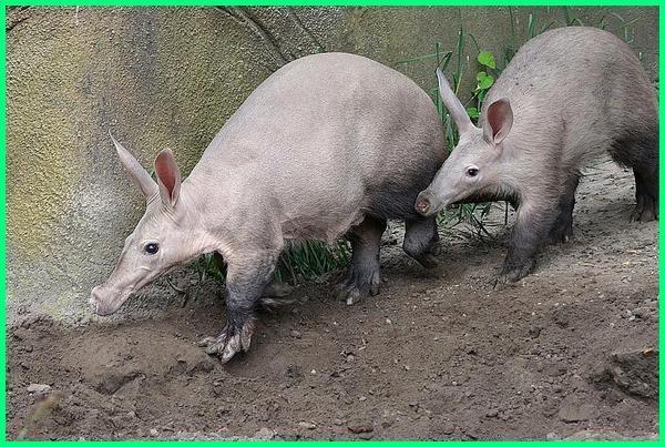 aardvarks, aardvark adalah, aardvark animal, aardvark and ant, a aardvark definition, a aardvark meaning, a aardvark self storage, aardvark diet, aardvark eating ants, aardvark habitat