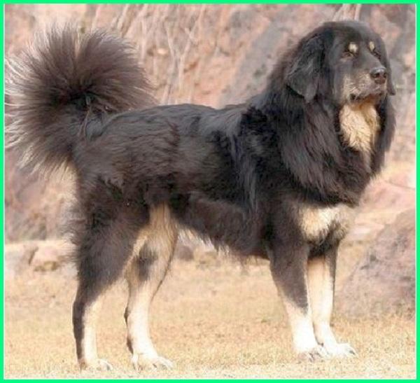 anjing yang mirip seperti singa, nama anjing seperti singa, foto anjing seperti singa