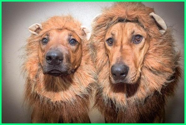 anjing rambut panjang, anjing rambut gimbal, model rambut anjing poodle, bulu anjing berubah warna, mainan rambut anjing