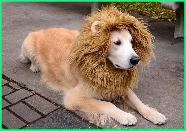 anjing yang mirip singa, anjing yang seperti singa, anjing yang kaya singa