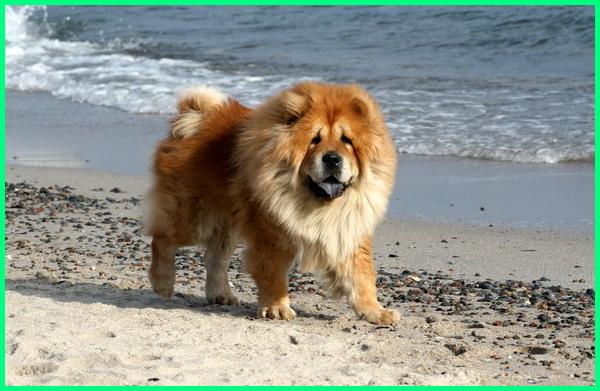 Anjing Chow-chow yang mirip seperti singa, anjing kaya singa
