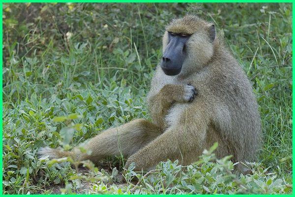 baboon apa itu, apa itu monyet babon, apakah babon itu, berapa lama babon mabung, kenapa babon memakan telurnya, mana pools baboons, yellow baboon, babun kuning