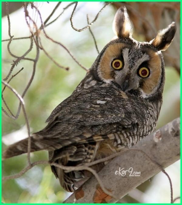 Jenis burung hantu dan makanannya, gambar burung hantu keren, burung hantu telinga panjang