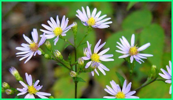bagaimana cara merawat bunga aster, bagaimana cara memperbanyak bunga aster, asal bunga aster, makna bunga aster