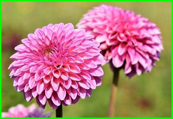 bunga dahlia artinya, bunga dahlia maknanya