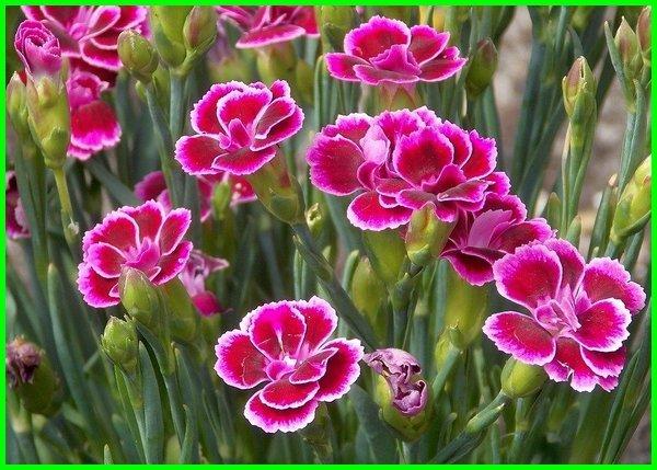 bunga anyelir dan artinya, bunga anyelir dan maknanya