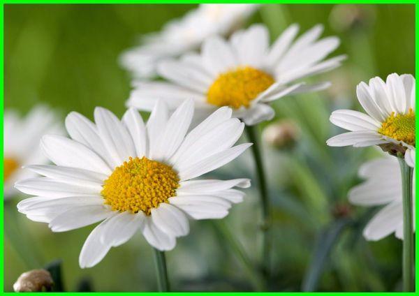 Bunga Daisy artinya, berbagai jenis bunga dan maknanya, bunga krisan dan maknanya, unga langka dan maknanya, nama latin bunga dan maknanya, bunga dan makna nya