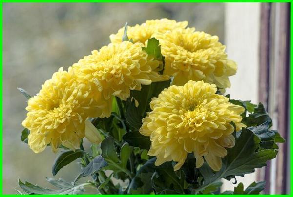 bunga krisan artinya