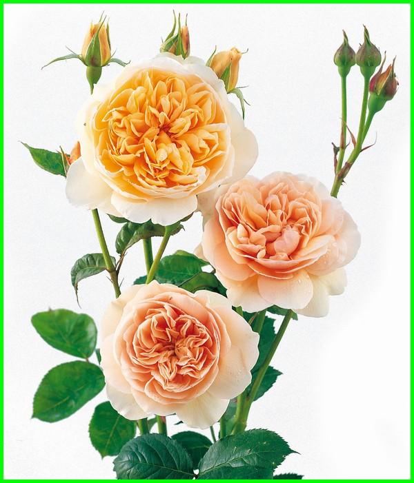 bunga paling mahal sedunia, bunga apa yang paling mahal, bunga paling cantik dan mahal di dunia, macam macam bunga paling mahal di dunia, foto bunga paling mahal di dunia, gambar bunga paling mahal di dunia, bunga yang paling mahal saat ini, bunga indonesia paling mahal, jenis bunga yang paling mahal, macam bunga paling mahal