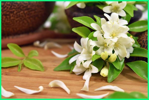 bunga terharum di indonesia, jenis bunga terharum, nama bunga terharum di dunia, bunga terharum sedunia, bunga terharum dan terindah, bunga yang terharum di dunia