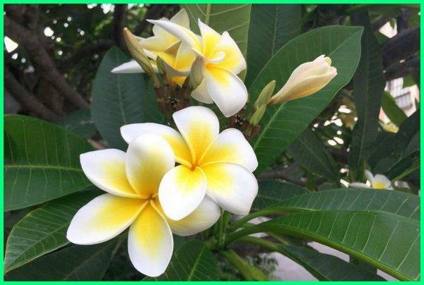 bunga kamboja, bunga kemboja, bunga terwangi di dunia, bunga terwangi di indonesia, nama bunga terwangi, bunga terwangi sedunia, 10 bunga terwangi di dunia