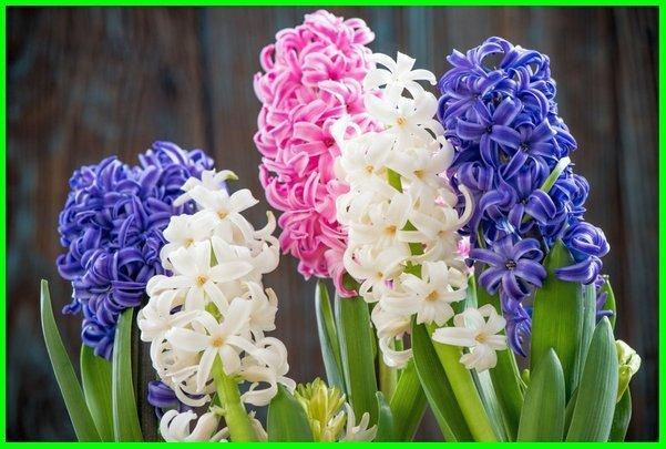 nama bunga dan maknanya, bunga dan makna, bunga beserta maknanya, bunga dengan maknanya, filosofi bunga dan maknanya, bunga hias dan maknanya, berbagai jenis bunga dan maknanya, bunga Hyacinth