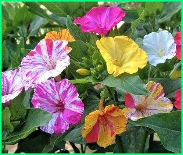 nama bunga yang paling harum, tanaman bunga paling harum, bunga yang paling harum, bunga yang paling harum di indonesia, 10 bunga paling harum