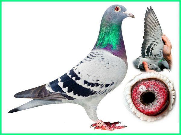 burung merpati termahal di dunia, burung balap tercepat di dunia, burung merpati tercepat di dunia, burung merpati termahal di dunia, merpati paling mahal di dunia
