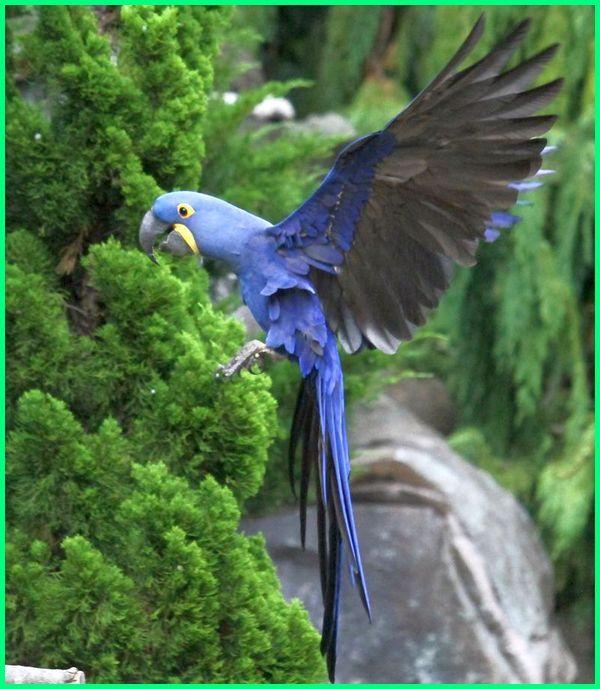 burung termahal di dunia nuri, nama burung termahal di dunia, burung paling termahal di dunia, burung termahal di seluruh dunia, 7 burung termahal di dunia, www.burung termahal di dunia, burung yg termahal di dunia, 5 burung termahal di dunia