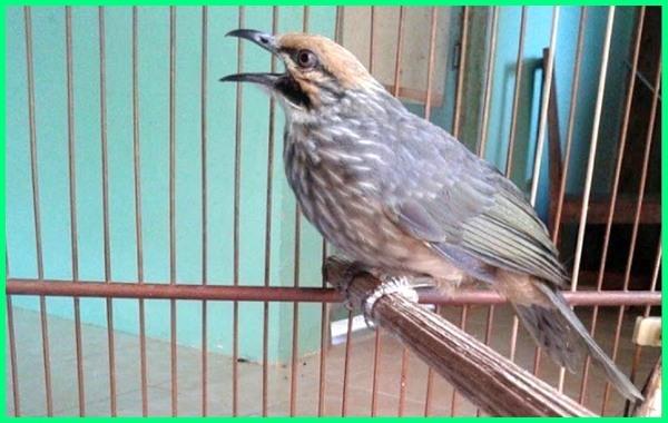 burung mahal di indonesia, jenis burung mahal indonesia, burung kicau mahal indonesia, jenis burung mahal di indonesia, foto burung mahal di indonesia, burung burung mahal di indonesia, cucak rowo