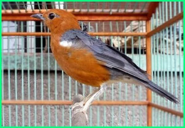 burung paling mahal di indonesia, burung kicau paling mahal di indonesia, daftar burung paling mahal di indonesia, jenis burung paling mahal di indonesia, burung ocehan paling mahal di indonesia, burung paling mahal se indonesia, burung yang paling mahal di indonesia, 5 burung termahal di indonesia, anis merah