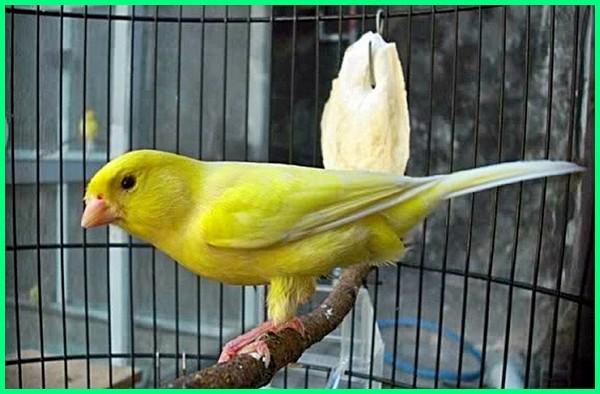 jenis burung mahal di indonesia