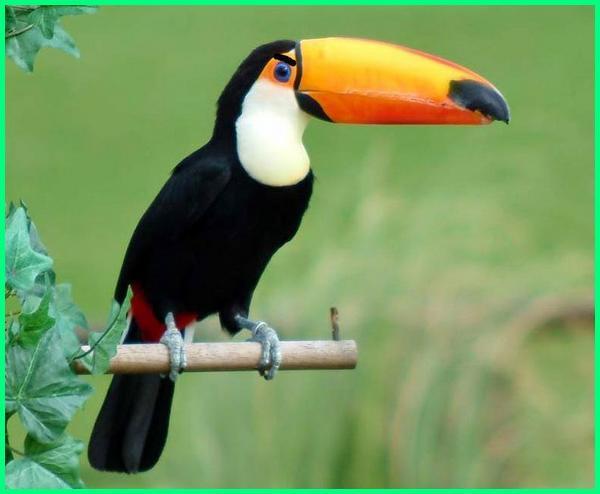 Burung Tukan, Toucan,burung termahal di dunia ada di papua, burung termahal di dunia 2019, burung termahal di dunia saat ini, burung termahal di dunia ada di indonesia, mengagumkan burung termahal di dunia ternyata ada di indonesia, jenis burung termahal di dunia, foto burung termahal di dunia, burung hantu termahal di dunia, jenis2 burung termahal di dunia