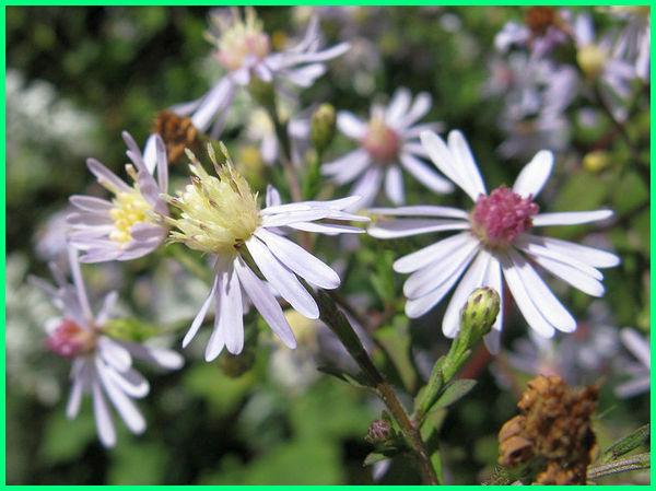 jenis tanaman hias bunga aster, jenis dan warna bunga aster, jenis dan gambar bunga aster, jenis bunga aster putih, aneka jenis bunga aster, jenis bunga aster dan gambarnya, jenis bunga aster di indonesia, jenis jenis bunga aster, macam jenis bunga aster, jenis warna bunga aster