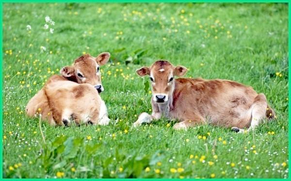 anakan sapi jersey, pola warna sapi jersey, jenise sapi yang termasuk jersey
