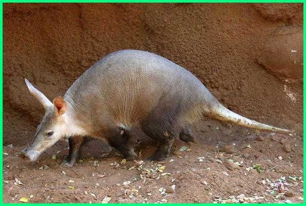 apa itu aardvark, apa arti aardvark, apa artinya aardvark, apa arti dari aardvark