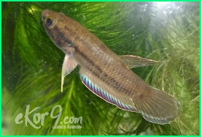 Ikan cupang asli indonesia, ikan cupang indonesia, ikan cupang bagus dari indonesia, ikan cupang asli alam liar indonesia, Ikan Cupang Bintik (Betta Picta)