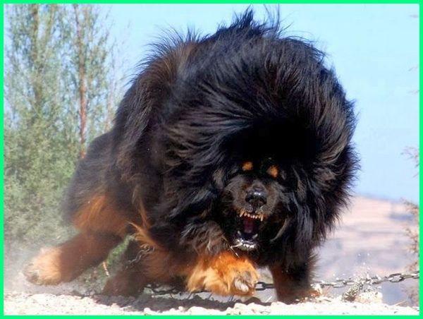 anjing singa tibet, jenis anjing mirip seperii singa, Tibetan mastiff anjing paling termahal di dunia, anjing termahal di dunia