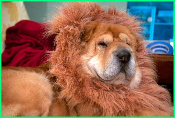 jenis anjing seperti singa, anjing yang seperti singa, nama anjing seperti singa, foto anjing seperti singa