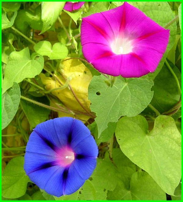 jenis bunga dan maknanya, macam bunga dan maknanya, gambar bunga dan maknanya, arti bunga dan maknanya, warna bunga dan maknanya, bunga dan makna, bunga beserta maknanya,Bunga Morning Glory (Ipomoea purpurea)