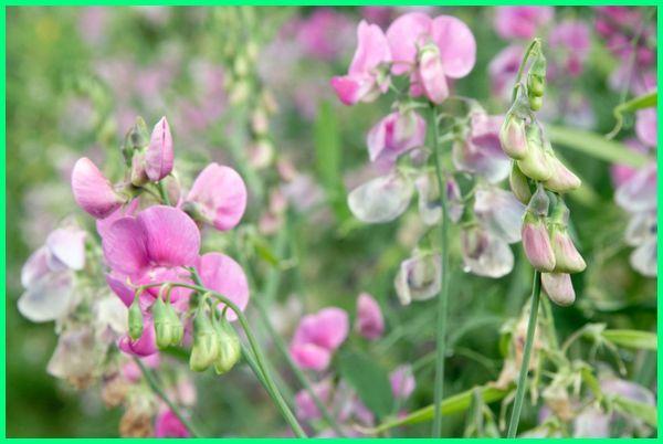 bunga apa paling harum, bunga apa yang paling harum, bunga paling harum di dunia, bunga paling wangi di dunia, bunga paling wangi di indonesia