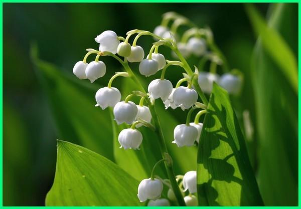jenis bunga yang paling harum, nama bunga paling harum, nama bunga yang paling harum, tanaman bunga paling harum, bunga yang paling harum