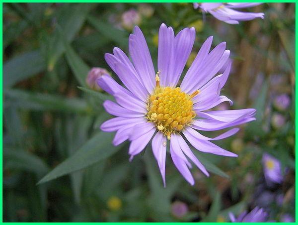 bunga aster ungu muda, gambar bunga aster ungu, bunga aster warna ungu, sejarah bunga aster, bunga aster tercantik, gambar bunga aster terbagus, cara agar bunga aster tidak layu, filosofi bunga aster ungu, bunga aster warna