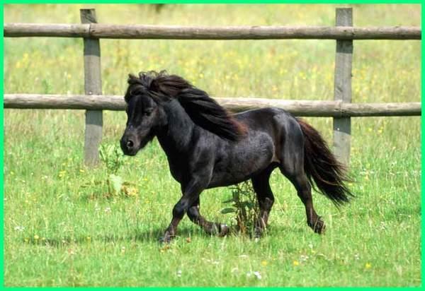 kuda kecil lucu, kuda kecil disebut kuda miniatur, kuda kecil dijual, kuda kecil untuk dijual, kuda kecil pengangkut barang, jenis kuda kecil, kuda poni kecil lucu, gambar kuda poni kecil, kuda poni yang kecil