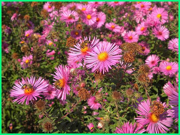 contoh bunga aster, bunga aster dan perawatannya, foto bunga aster warna merah muda, bunga aster pink, bunga aster merah muda,bunga aster nama ilmiah, jelaskan bunga aster, bunga aster kingsize