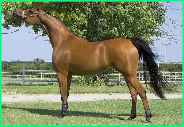 kuda arab untuk dijual, kuda in arab, harga kuda perang arab, kuda raja arab, sejarah kuda arab