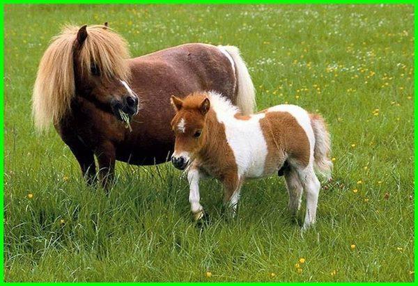 kuda kecil lucu, beli kuda kecil, hewan kuda kecil, istilah kuda kecil, kuda poni kecil lucu, harga kuda kecil murah, gambar kuda poni kecil