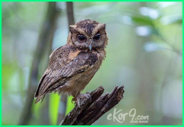 Makanan Burung Hantu Segala Jenis Dan Perawatannya Dunia Fauna Hewan Binatang Tumbuhan