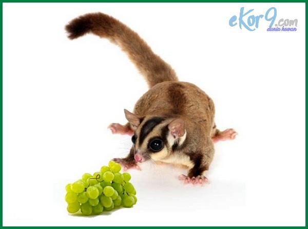 makanan sugar glider apa, makanan sugar glider yang baik, makanan sugar glider apa saja, makanan sugar glider di alam, makanan kesukaan sugar glider adalah, makanan alternatif sugar glider, apa makanan favorit sugar glider, contoh makanan sugar glider, cari makanan sugar glider