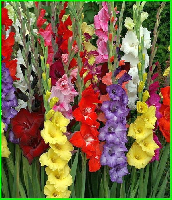 bunga sama artinya, macam warna bunga dan artinya, bunga yang artinya rindu, bunga gladiol