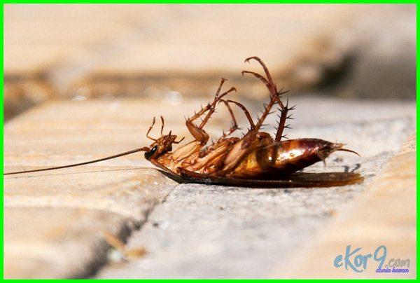 membunuh kecoa, cara mengusir kecoa dengan ampuh, mengusir kecoa dengan bahan alami, cara mengusir banyak kecoa di rumah