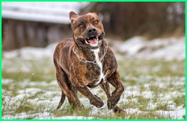 nama anjing tergalak, anjing tergalak dan terbesar di dunia, anjing tergalak di indonesia, jenis anjing tergalak, ras anjing terganas, anjing tergalak dan terkuat di dunia