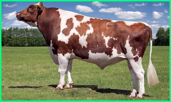 sapi yang berwarna coklat belang, sapi yang berwarna belang coklat, sapi ayrshire, gambar sapi ayrshire, ciri ciri sapi ayrshire