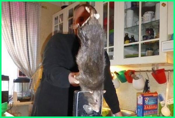 tikus besar bahasa inggris, tikus besar tts, tikus besar masuk rumah, tikus besar jawaban tts, tikus besar di dunia, tikus besar namanya, Swedish viking rat