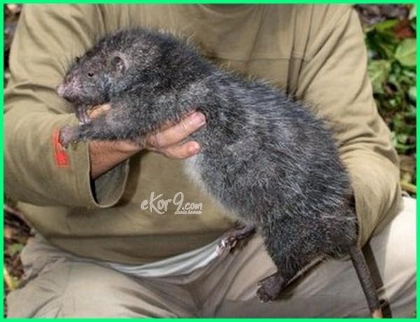 tikus besar masuk rumah, tikus besar di dunia, tikus besar namanya, tikus besar australia, gambar tikus besar, cara mengusir tikus got besar, jenis tikus besar, karakter tikus besar, spesies tikus besar