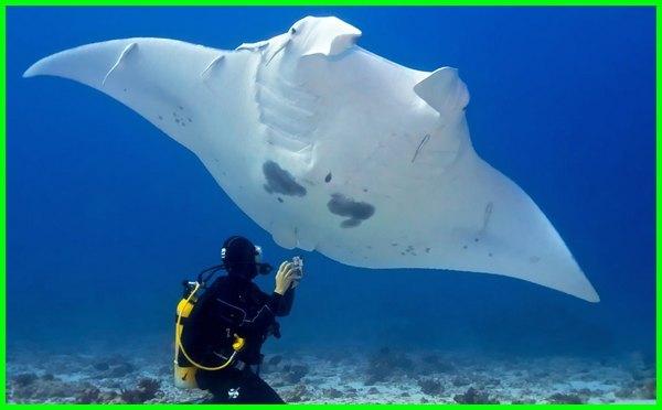 ikan terbesar di dunia, ikan terbesar di indonesia, ikan terbesar di laut, ikan terbesar di cirata, ikan terbesar di lautan, ikan terbesar di dunia selain paus, ikan terbesar di dunia yang masih hidup, ikan terbesar dunia, ikan terbesar.com
