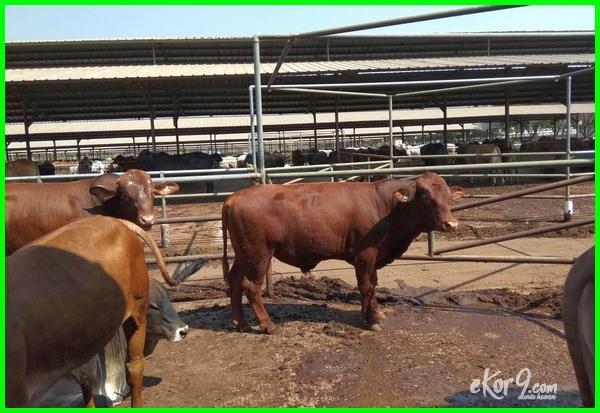sapi bakalan, jual sapi qurban 2019-2020-2021, jual sapi qurban jakarta, jual sapi qurban bandung, jual sapi qurban bogor, jual sapi qurban murah, jual sapi qurban jual pakan ternak cv. lembu mulyo kota depok jawa barat, harga sapi qurban cirebon, harga sapi qurban hari ini, harga sapi kurban tahun ini