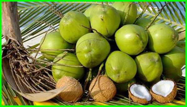 jenis pohon kelapa dan manfaatnya, jenis jenis pohon kelapa dan ciri cirinya, ada berapa jenis pohon kelapa, jenis jenis pohon kelapa, jenis pohon kelapa mini