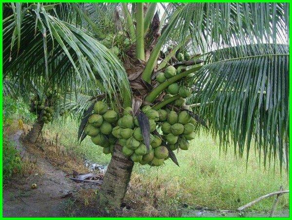 ada berapa jenis pohon kelapa, jenis jenis pohon kelapa, jenis buah kelapa pandan